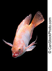 Nile Red Tilapia Fish - Nile Or Red Tilapia Oreochromis...
