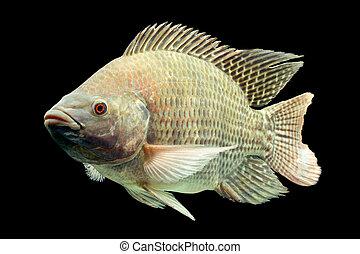 Oreochromis, Mossambicus, Tilapia, pez,
