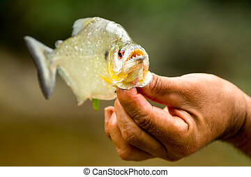 Piranha Fish With His Powerful Jaws Opened Up - Aggressive...