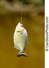 Piranha Fish Hanging By Fishing Line - Small Piranha Fish...