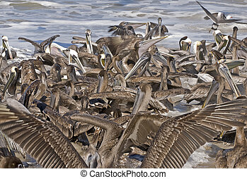 Flock of brown pelicans on the shore - Flock of brown...