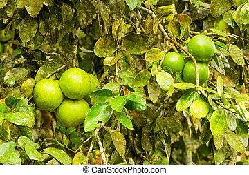 pomelo, Plantacja, owoc