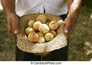 farmer picking peaches