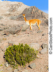 Vicuna Male In Andes Range - Vicugna Or Vicuna Male A...