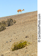 Wild Vicuna On Andean Desert - Vicugna Or Vicuna Male A...