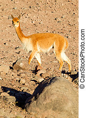 Wild Vicuna Camelid In Andes Range