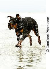 Rottweiler Dog In Motion - Adult Rottweiler Dog Running On...
