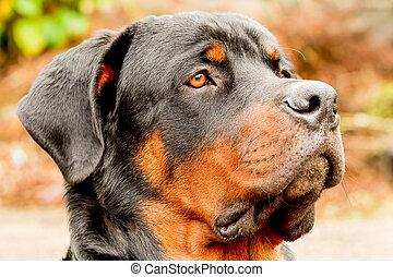 Profile Rottweiler Dog Portrait - Profile Portrait Of An...