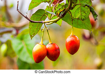 Ripped Tamarillo Fruits - Solanum Betaceum Is A Small Tree...