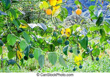 Granadilla Fruits Plantation - Granadilla Fruit Cultivation...