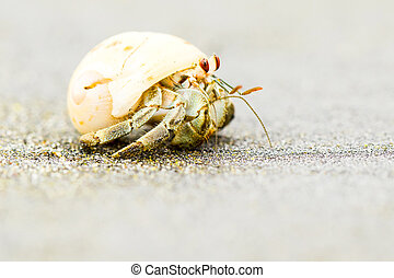 Hermit Crab Close Up - White Hermit Crab Looking Straight...