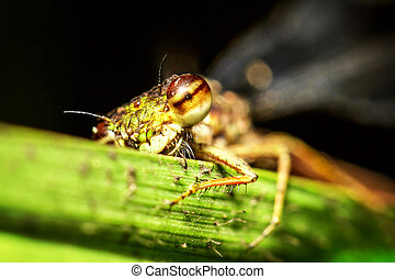 Coleoptera Splendens Insect Close Up - Dragonfly Taking A...