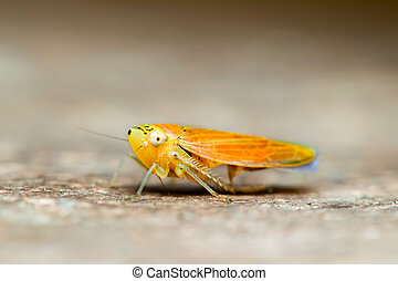 Orange Grasshopper Low Angle Close Up - Orange Variety Of...