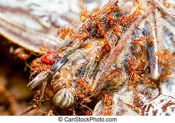 Red Ants Feast - Group Of Red Ants Devouring The Carcass Of...