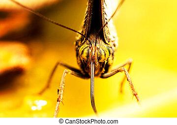 Caligo Eurilochus Close Up - Caligo Eurilochus Face Close Up...