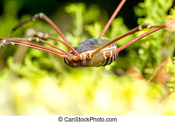 Harvestmen Spider Insect Close Up - Opiliones Formerly...