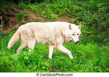Wild White Wolf - Large Adult White Wolf Chasing His Prey In...
