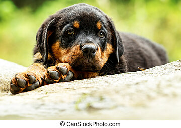 Rottweiler Dog Pup - Portrait Of An Young Rottweiler Pup Two...