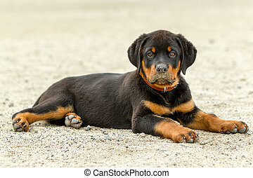 Rottweiler Dog Puppy - Rottweiler Pup Posing Shot From Low...