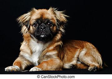 Pekingese Dog Face - Adult Pekingese In Sitting Position...