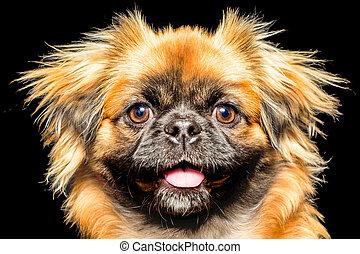 Pekingese Dog Face - Adult Pekingese Face Close Up Studio...