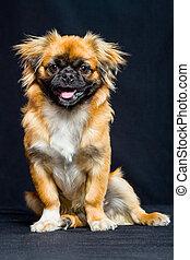 Pekingese Dog Portrait - Adult Pekingese In Sitting Position...