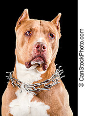 Staffordshire Terrier Or American Pit Bull