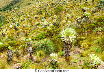 Frailejon Flower Filed At High Altitude In Andes - Espeletia...