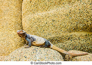 Shedding Lizard Resting On Colorful Rock In Her Natural...