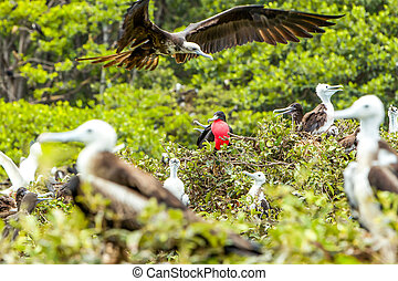 Frigates Birds With Male In The Center - Frigate Bird Family...