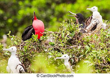 Frégate, oiseau, mâle,