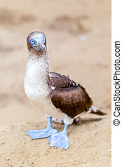 Blue Footed Booby In Galapagos Islands
