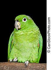 Small Green Parrot Ecuadorian Amazon Basin