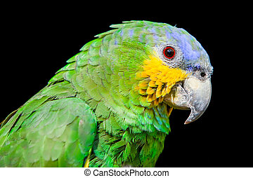 Blue Headed Parrot - The Blue Headed Parrot Close Up