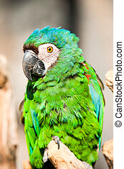 Chestnut Fronted Macaw - The Chestnut Fronted Macaw Or...