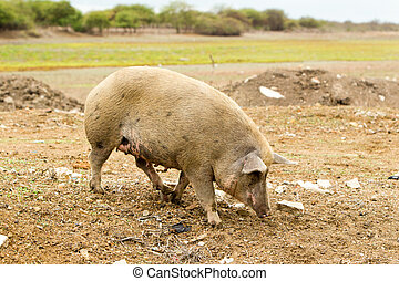 Adult Free Range Sow Digging In The Dirt