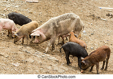 Free Range Sow With Piglets