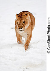 Lioness In The Snow - Unusual Scene Suggesting Climate...