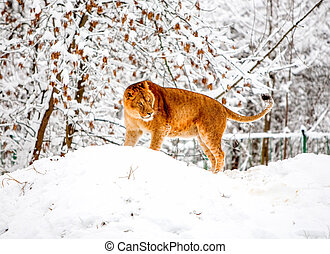 Lioness In The Snow - Lion In The Middle Of A Lot Of Snow...