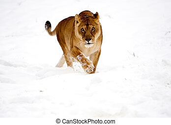 Lioness Wild Cat In The Snow - Rare Scene Lioness Playing In...