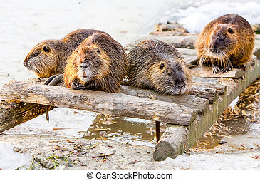 Group Of Beavers - Four Members Of A Beaver Family Taking A...