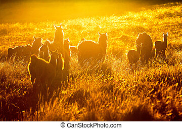 Heard Of Wild Lamas Backlit - Heard Of Lamas In Ecuadorian...