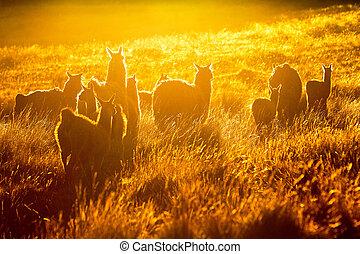 Heard Of Wild Lamas Backlit - Heard Of Lamas In Ecuadorian...