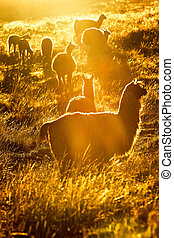 Heard Of Wild Lamas At Sunset - Heard Of Lamas In Ecuadorian...