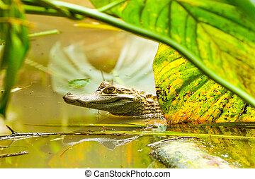 Wild Caiman In The Amazonian Swamps