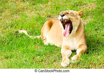Lioness With Mouth Wide Open - Large Lioness In A Lazy Pose...