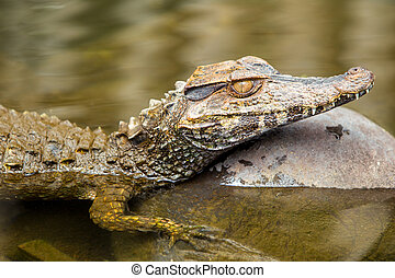 Submerged Caiman Close Up