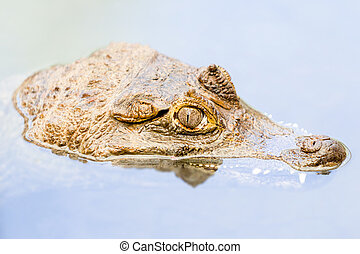 Caiman Head Emerging From Murky Waters In Amazonian Basin