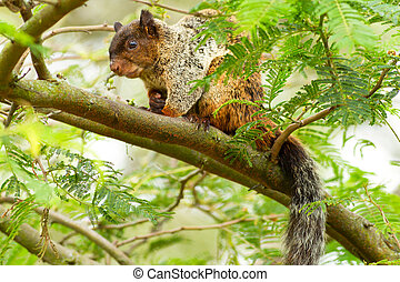 Male Fox Squirrel In Natural Habitat Ecuadorian Rainforest