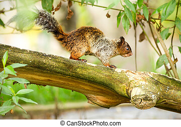Female Fox Squirrel In Natural Habitat Ecuadorian Rainforest
